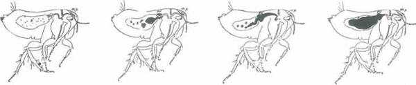 Verschillende fasen van een met pestbacillen besmette vlo