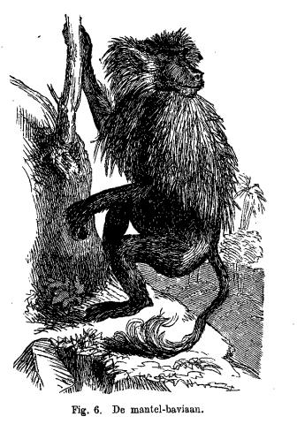 De mantel-baviaan