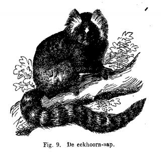 De eekhoorn-aap