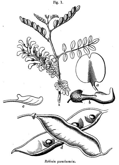 Robinia pseulacacia