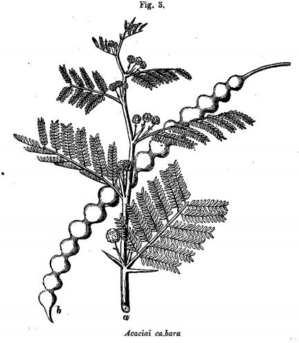 Acaciai cabara