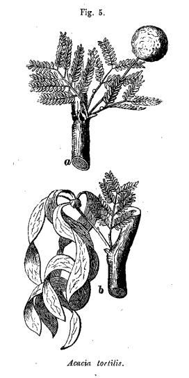 Acucia tortitis