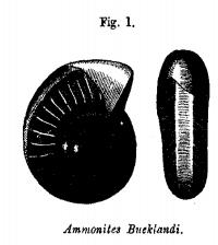 Ammonites Bueklandi