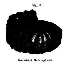 Goniatites Hoeninghausi