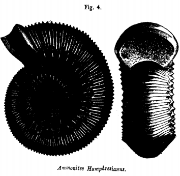 Ammonites Humphresianus